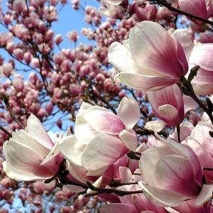 Цвітуть магнолії: День відкритих дверей в Ботанічному саду