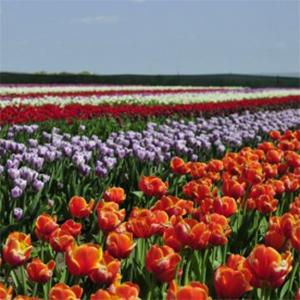Екскурсія-тур «Долина тюльпанів»