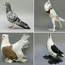 Виставка голубів Львівського клубу декоративного голубівництва