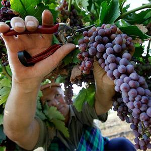 Екскурсія-тур «Закарпатська екзотика + Свято збору винограду «Grapes-fest»